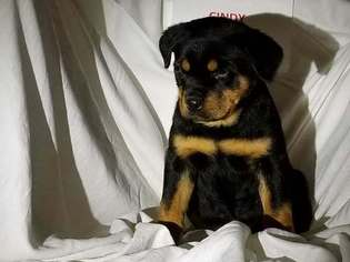 View Ad Rottweiler Puppy For Sale Indiana New Haven Usa