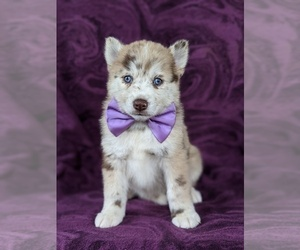 Pomsky Puppy for sale in QUARRYVILLE, PA, USA