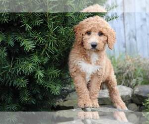Goldendoodle Puppy for Sale in MOUNT VERNON, Ohio USA