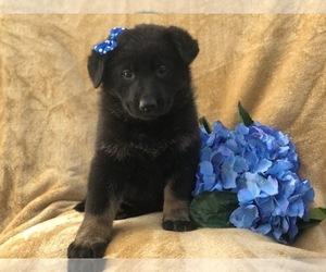 German Shepherd Dog Puppy for sale in EAST EARL, PA, USA
