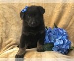 German Shepherd Dog Puppy For Sale near 17519, East Earl, PA, USA