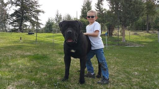 View Ad: Bullmastiff Puppy for Sale, Oregon, LONG CREEK, USA