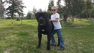 Mastiff Puppy For Sale in LONG CREEK, OR, USA