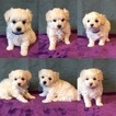 Maltese-Poodle (Toy) Mix Puppy For Sale in PORT ORCHARD, WA