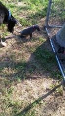 Great Dane Puppy For Sale in CALHOUN, IL