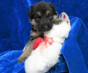 German Shepherd Dog Puppy for sale in HARTVILLE, MO, USA
