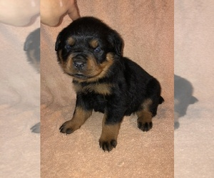 Rottweiler Puppy for sale in MOSES LAKE, WA, USA