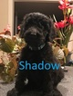 Goldendoodle-Poodle (Standard) Mix Puppy For Sale in CORNING, CA, USA