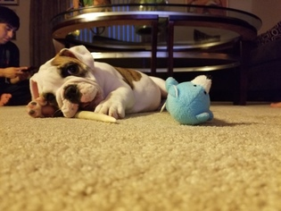 English Bulldogge Puppy for sale in SAINT CHARLES, IL, USA
