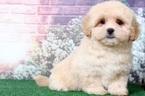 Small #4 Lhasa-Poo