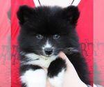 Puppy 2 Alaskan Klee Kai
