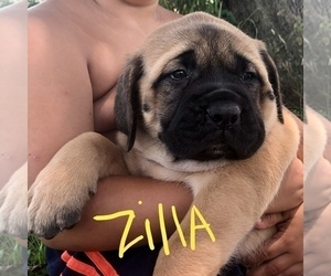 Mastiff Puppy for Sale in APOLLO, Pennsylvania USA