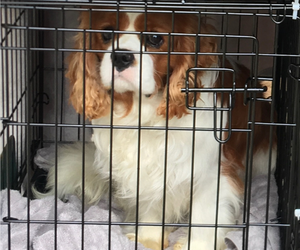 Cavalier King Charles Spaniel Puppy for sale in SPRING BRANCH, TX, USA