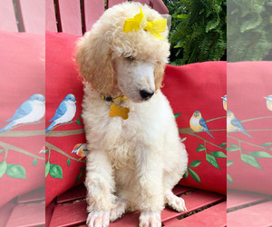 Poodle (Standard) Puppy for sale in LITHONIA, GA, USA