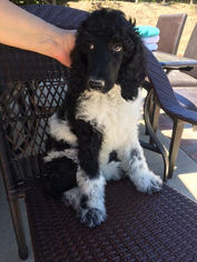 Poodle (Standard) Puppy For Sale in GRANADA HILLS, CA