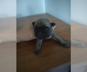 Pug Puppy for Sale in FRANKTON, Indiana USA