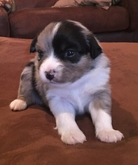 Miniature Australian Shepherd Puppy For Sale in MONTGOMERY, AL