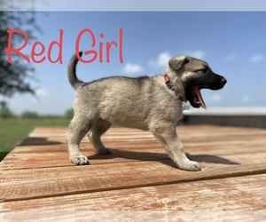 German Shepherd Dog Puppy for Sale in GARDEN CITY, Texas USA