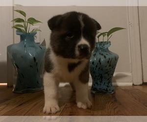Akita Puppy for Sale in UNION CITY, Georgia USA