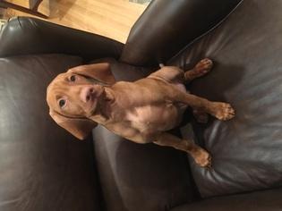 Vizsla Puppy For Sale in JOHNSON CITY, TN, USA