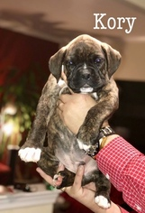 Boxer Puppy for Sale in ABERDEEN, New Jersey USA