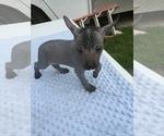 Small #2 Xoloitzcuintli (Mexican Hairless)