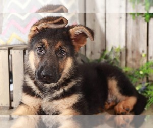 German Shepherd Dog Puppy for sale in MOUNT VERNON, OH, USA