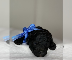 Poodle (Toy) Puppy for Sale in STRATHMORE, California USA