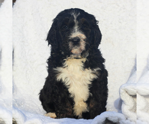 Bernedoodle-Poodle (Standard) Mix Puppy for sale in DENVER, PA, USA