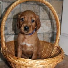 AKC Irish Setter Puppies