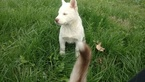 Siberian Husky Puppy For Sale in CHARLESTON, IL