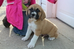 Boxer-Great Pyrenees Mix Puppy For Sale in LAUREL, IN