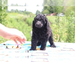Poodle (Standard) Puppy for sale in UNION CITY, TN, USA