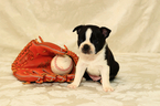 Boston Terrier Puppy For Sale in GRAHAM, WA, USA