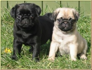 Pug Puppy For Sale in DES MOINES, IA