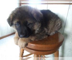 German Shepherd Dog Puppy for sale in ANN ARBOR, MI, USA