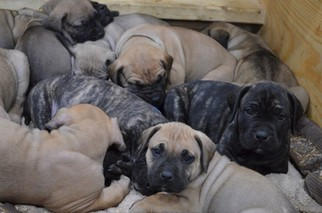 Presa Canario Puppy for sale in COLUMBUS, IN, USA