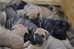 Presa Canario Puppy For Sale in COLUMBUS, IN