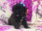 Poodle (Miniature)-Schnauzer (Standard) Mix Puppy For Sale in EAST EARL, PA, USA