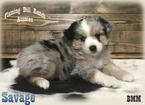 Miniature Australian Shepherd Puppy For Sale in FORESTBURG, Texas,