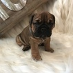 Bulldog Puppy For Sale in JOHNSTOWN, PA