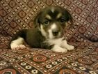 Pembroke Welsh Corgi Puppy For Sale in CALDWELL, WV, USA