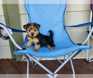 Morkie Dog for Adoption in SANTA CLARITA, California USA