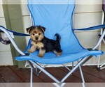 Morkie Puppy For Sale in SANTA CLARITA, CA, USA