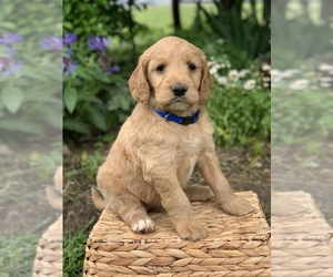 Irish Doodle Puppy for sale in WOOSTER, OH, USA