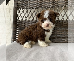 Havanese Puppy for Sale in HOUSTON, Texas USA