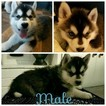 Siberian Husky Puppy For Sale in OTTAWA, OH