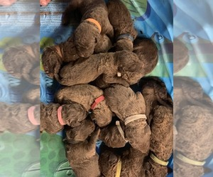 Chesapeake Bay Retriever Puppy for sale in VIRDEN, IL, USA