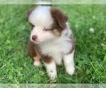 Small #7 Miniature Australian Shepherd