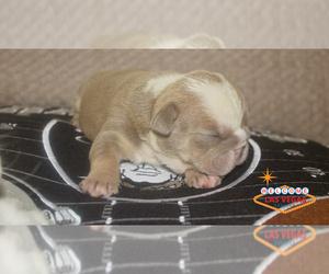 English Bulldog Puppy for Sale in LAS VEGAS, Nevada USA
